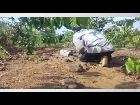 Cách bẫy gà rừng cực đơn giản mà hiệu quả