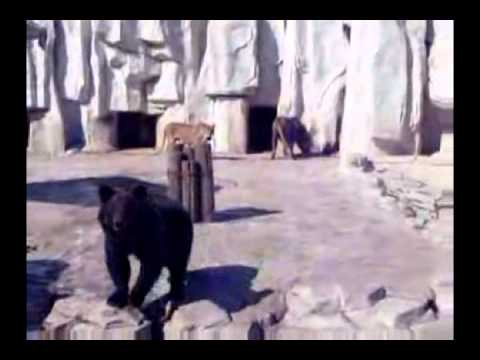 Male Lion And Brown Bear Fighting For Food | Lion vs Bear |