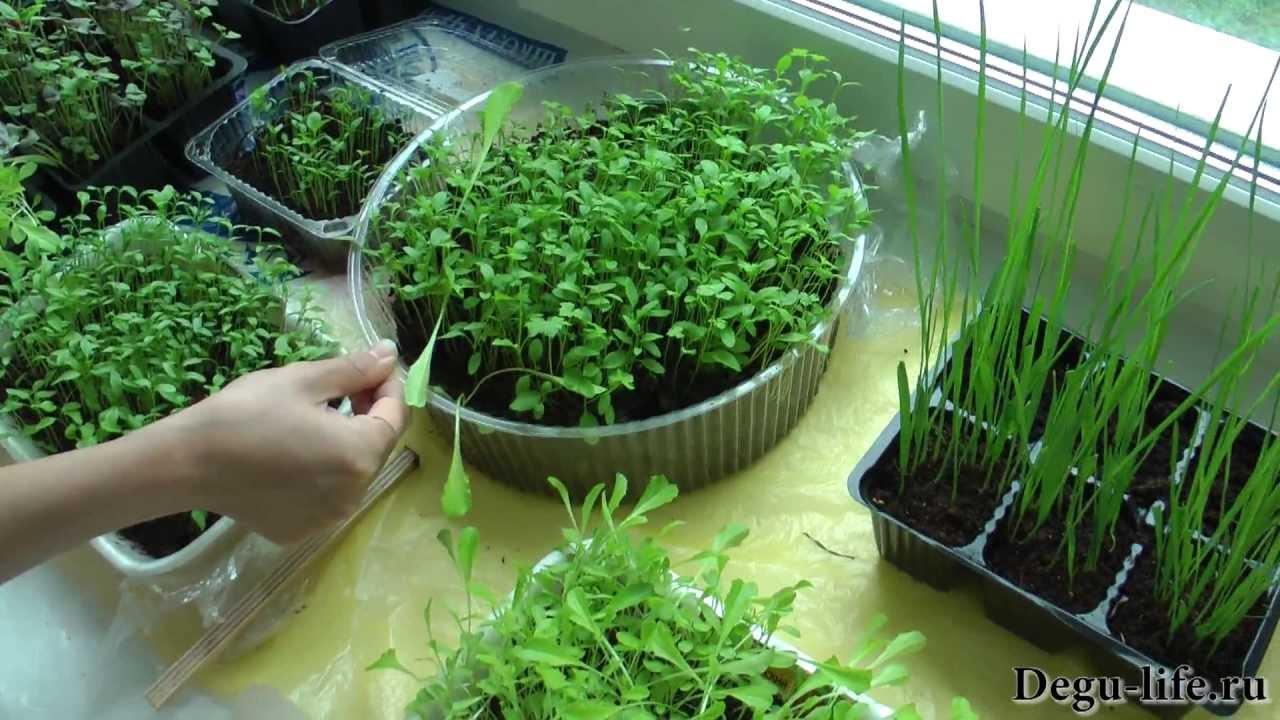 Выращиваем зелень для дегу дома.