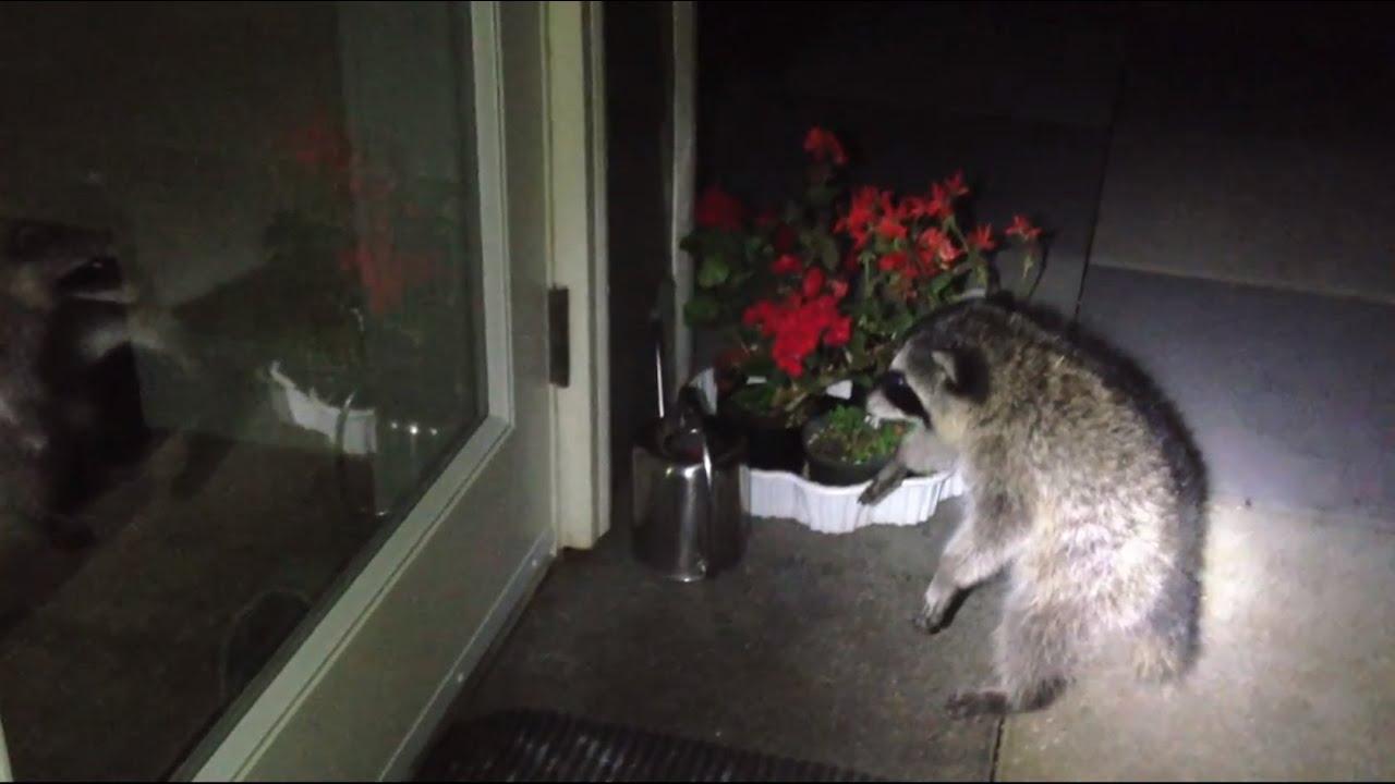 Cute Baby Raccoon Scary Reflection Youtube