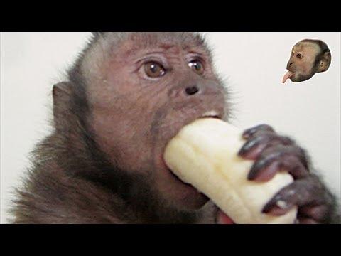 Capuchin Monkey & Mushy Banana