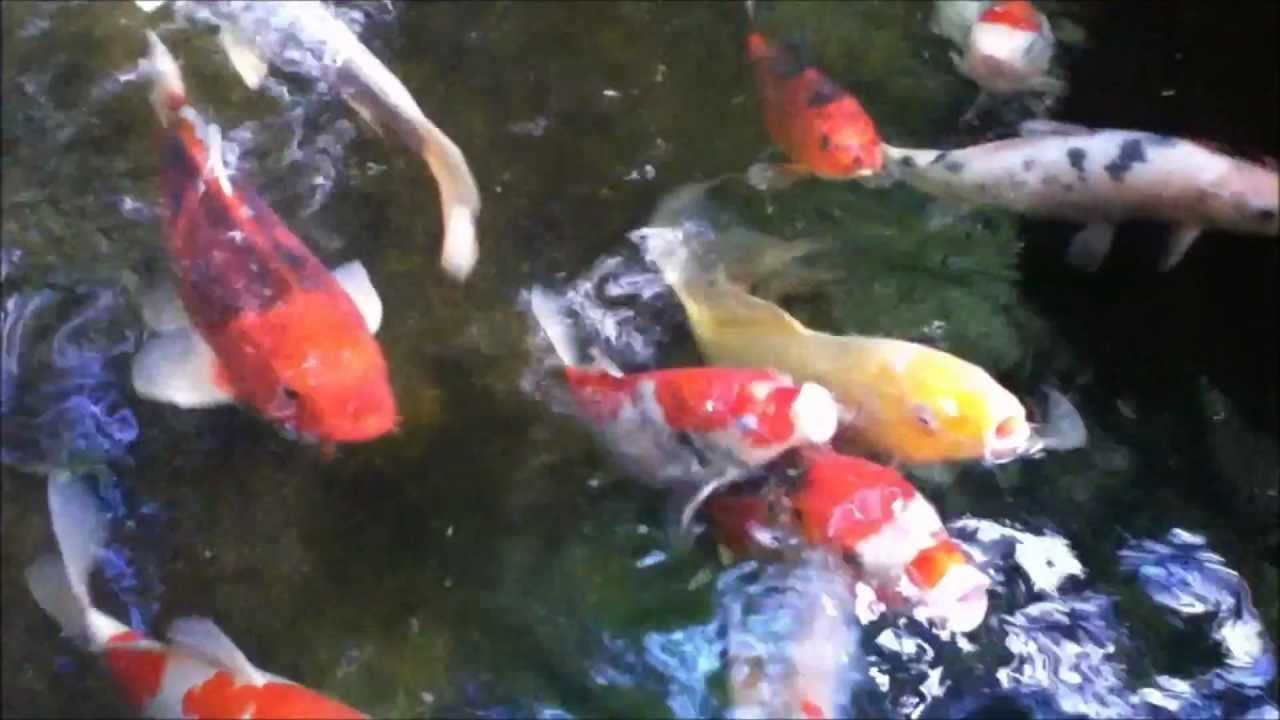 Pretty gold orange white coy koi big fish swimming hd for Fish swimming video