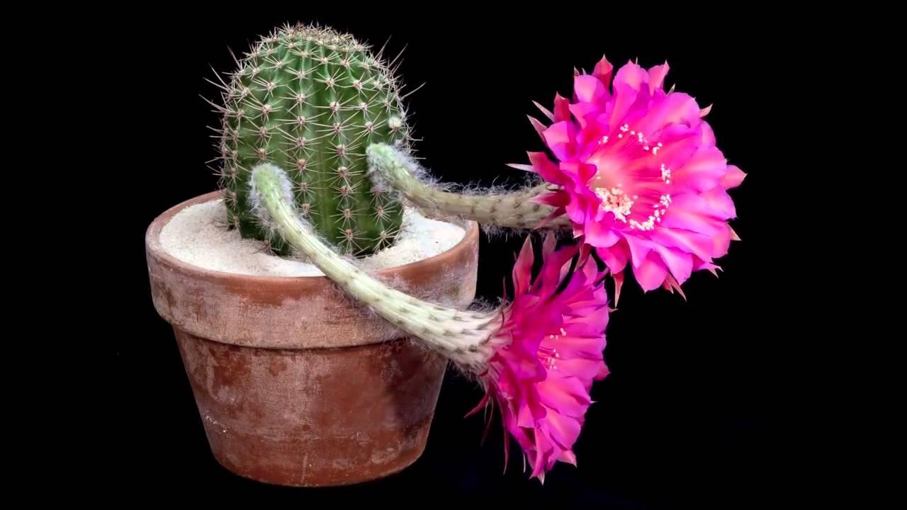 Сколько цветет кактус в домашних условиях 145