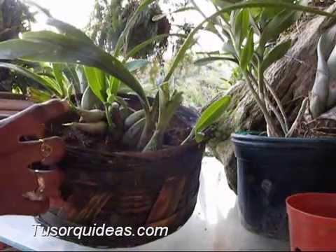 Orquideas macetas para hacer el trasplante youtube - Como cuidar orquideas en maceta ...