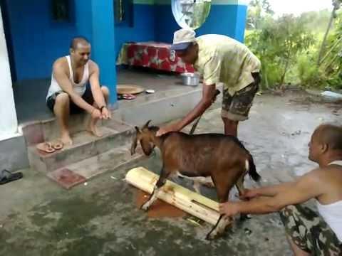 Head Cut Off Video Goat 39 s Head Cut Off in Dashain