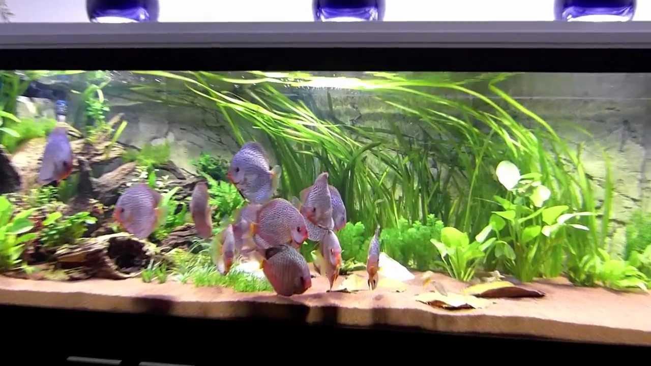 Einrichtung eines diskusaquariums mit stendker diskus for Diskus aquarium