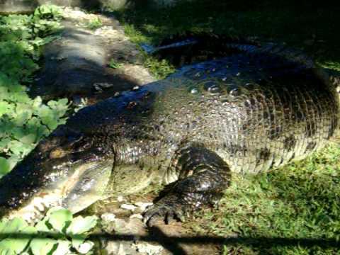 Quão grande pode ser? - Crocodilianos gigantes Hqdefault