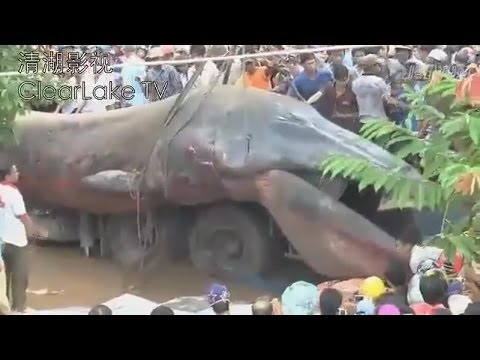 GIANT SEA MONSTER FOUND DEAD IN KHMER KROM CAMBODIA? NOVEMBER 21, 2013 (EXPLAINED)