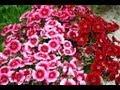 Fleurs : Tout ce qu'il faut savoir sur les oeillets (Dianthus caryophyllus)
