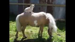 Chihuahua montando un poni