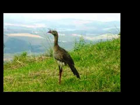 Canto dos Pássaros ao som da Viola  Natureza e Sentimento srtanejo