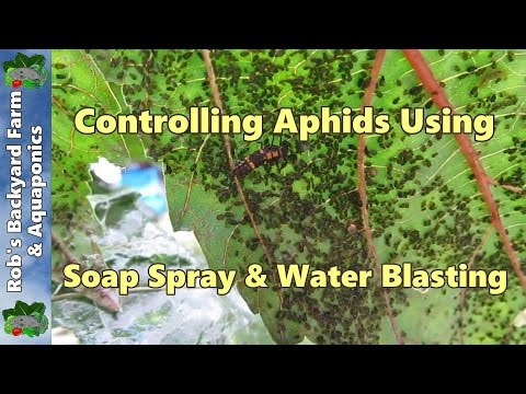 how to kill aphids using a natural liquid soap spray water blasting youtube. Black Bedroom Furniture Sets. Home Design Ideas