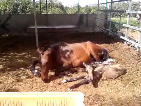 Yeguada DOBLE R, nacimiento potro bayo