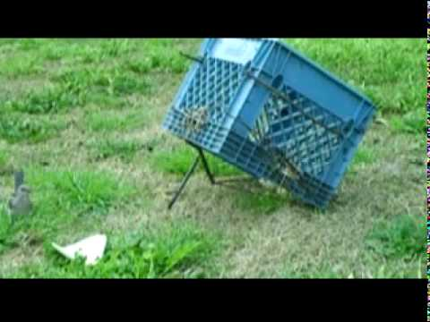 Arapuca Style Bird Trap In Action Close Up The Fast And
