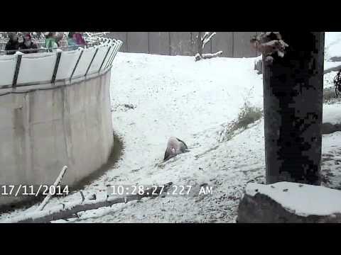 Откако падна првиот снег, оваа панда не може да му се изнарадува. Кадри кои ќе ве потсетат дека и ние луѓето сме рожби на природата