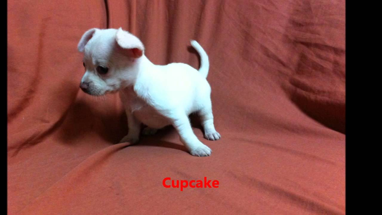 Displaying Images For - Chiweenie Puppies...