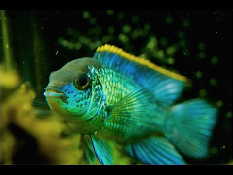 Electric Blue Acara video Fincasters Episode 29: Electric Blue Acara