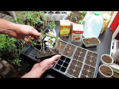Starting Vegetable Seeds Indoors: Planting, Watering, Feeding Tomatoes & Peppers- KIS Series (3)