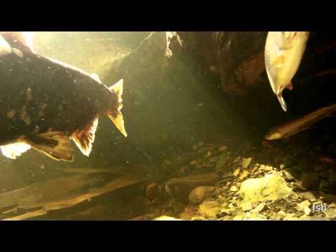 floyd's wild alaskan salmon cam 2012-3