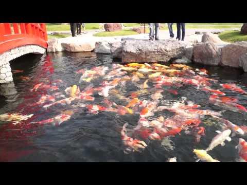 Hồ cá Koi lớn nhất và đẹp nhất VN 2/3 - Vườn Nhật Bản/Rin Rin Park (Tùng Sơn Thạch Hoa Viên)