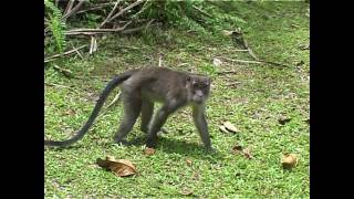 Macaque monkey attacks cameraman !!!