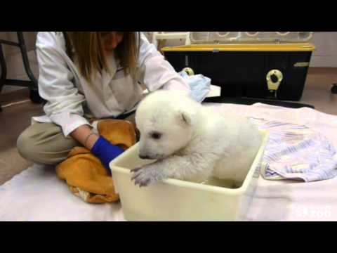 Toronto Zoo Polar Bear Cub Takes First Bath