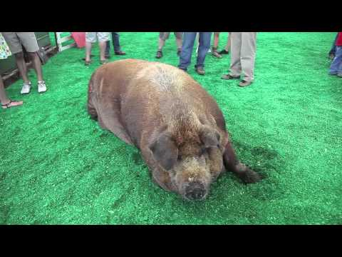 Iowa State Fair 2012: Biggest Boar