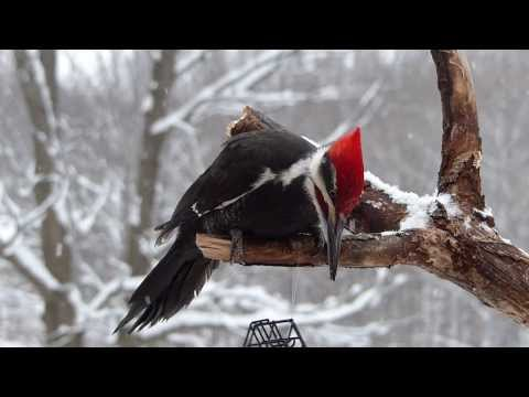Pileated Woodpecker Close Encounter #1 By Preston S Cole