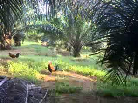 Pikat ayam hutan. 1st mengadap ah(amad jais)