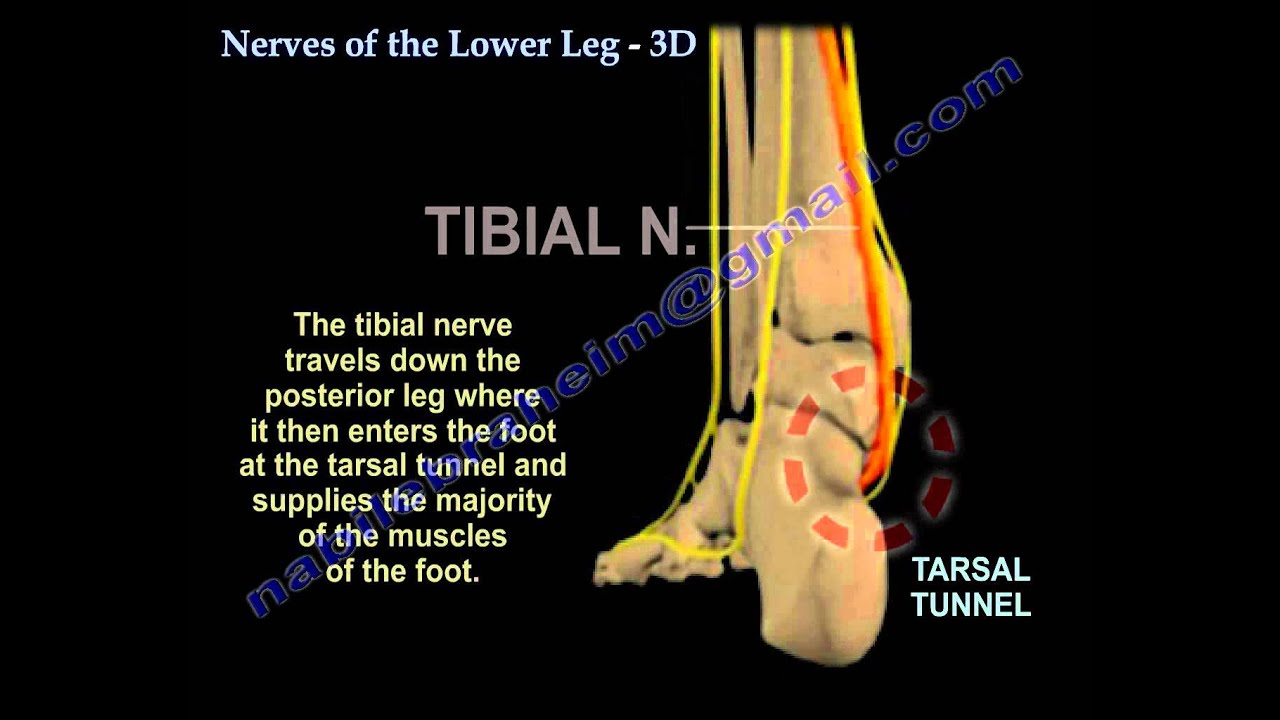 Nerves Of The Lower Leg 3d