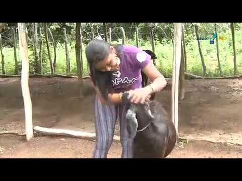 RedeTV News: Cabras são 'arma' contra a seca no Nordeste