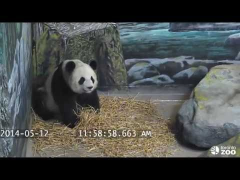 Toronto Zoo Giant Panda - What's black and white and may be pregnant?