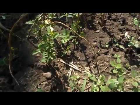 Butasi de goji / goji seedlings
