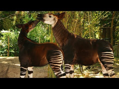 Dallas Zoo's Rare Okapi Baby Learns to Use Her Legs
