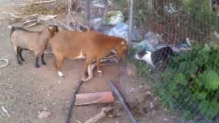 Boston Terrier VS A Goat