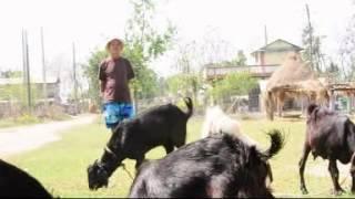 Goat Farm In Nepal