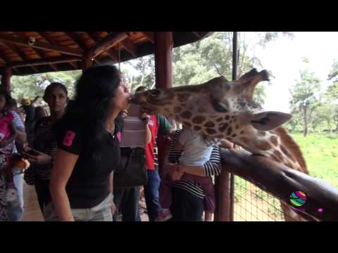 Rothschild's giraffes kisses at Giraffe Centre, Nairobi, Kenya, Africa