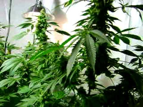 indoor grow cannabis grow,big buds