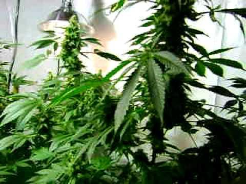indoor grow cannabis grow,big buds