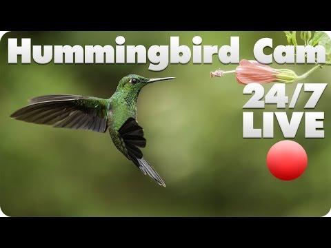 Hummingbird Live Cam 2