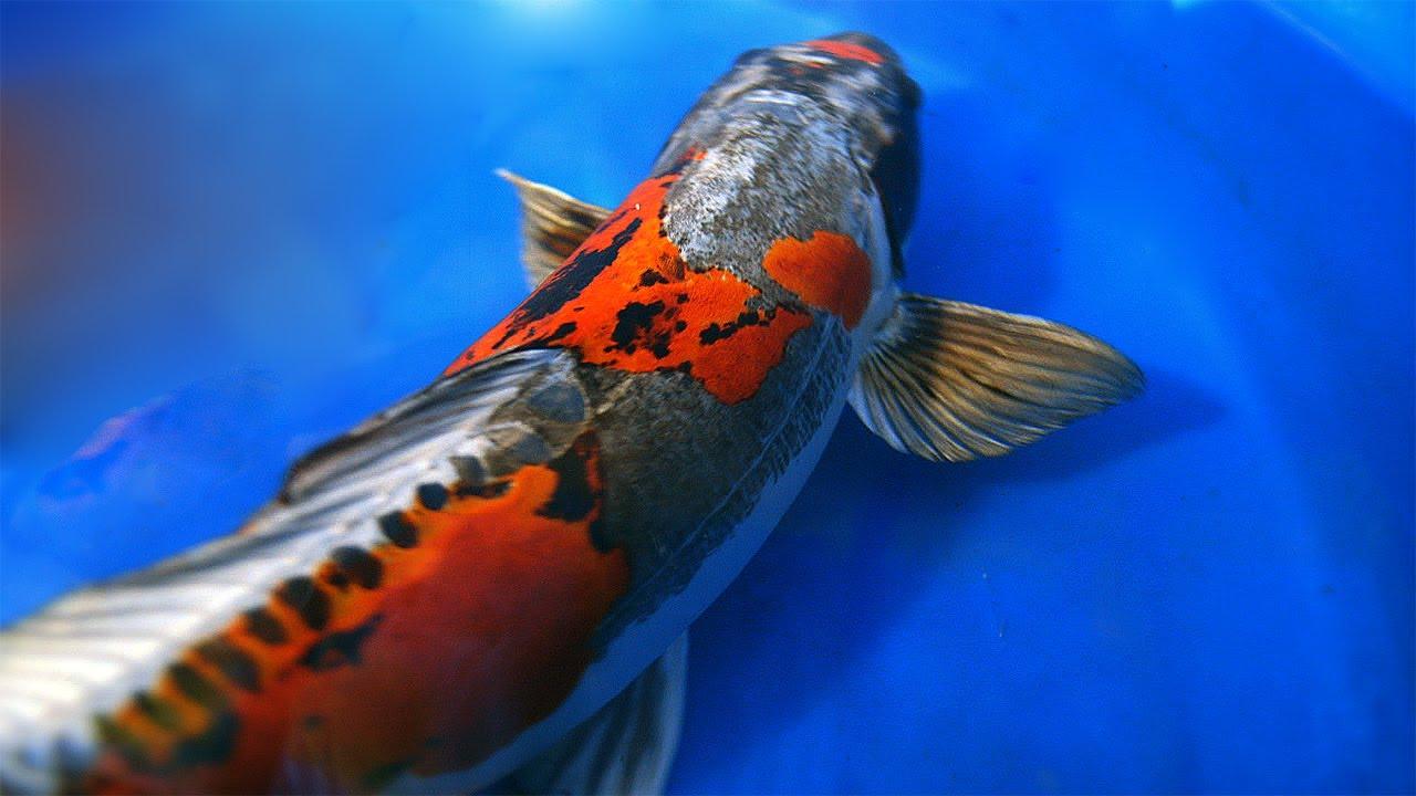 Dragon koi fish ki kokuryu koi youtube for Koi youtube