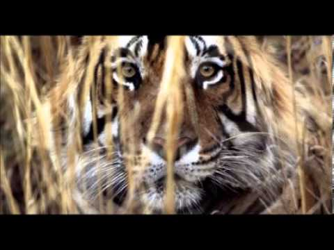 Man Eating Tiger In India Caught