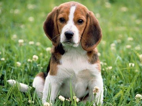 фото собаки бигль