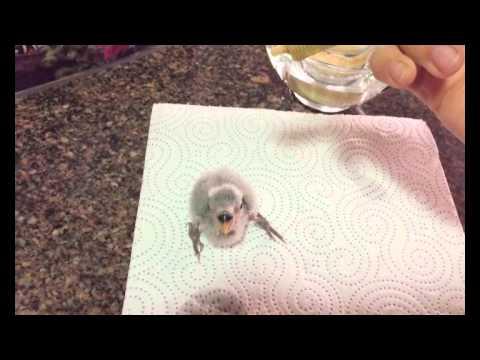 Agapornis papillero, cría a mano y suministro de papilla