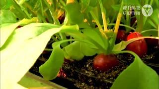 Суражевские овощи исчезнут со столов приморцев