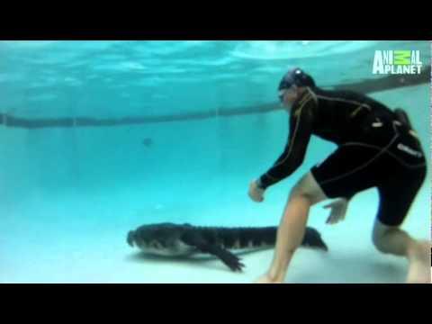 Jak wyciągnąć aligatora z basenu?
