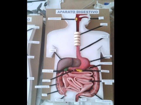 Aparato Digestivo Maqueta 1
