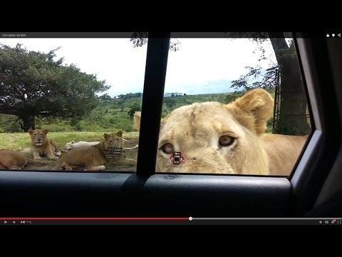 驚傳國外開車遊動物園被咬死