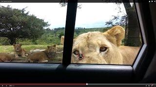 Singa Buka Pintu Mobil Keluarga Saat Berwisata