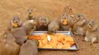 Prairie Dogs Are Eating Carrots- Carrots Party